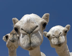 3 white camels on the camel market in Riyadh, Saudi Arabia.